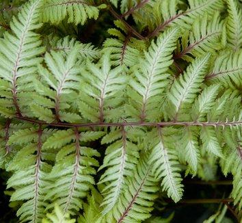 Anisocampium niponicum var. pictum 'Applecourt' 12