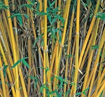 Bambusa multiplex 'Alphonse Karr' 1 culms