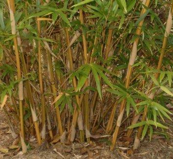 Bambusa multiplex 'Alphonse Karr' 2 culms