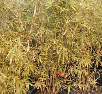 Bambusa multiplex 'Alphonse Karr' 4