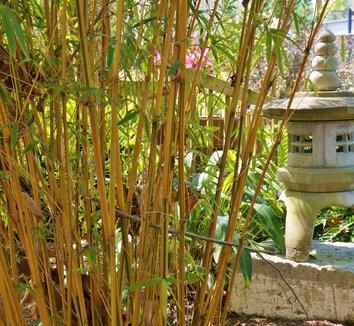 Bambusa multiplex 'Alphonse Karr' 10 culms