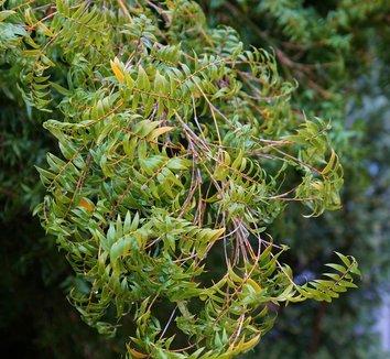 Bambusa multiplex 'Floribunda' 5