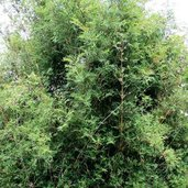 Bambusa muliplex var. riviereorum