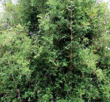 Bambusa muliplex var. riviereorum 1