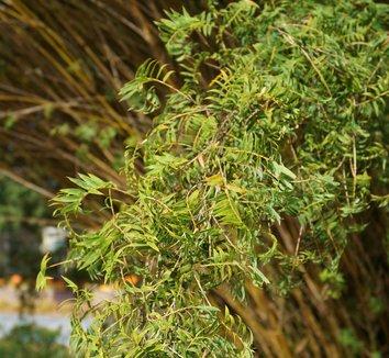 Bambusa muliplex var. riviereorum 4