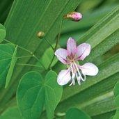Bauhinia yunnanensis