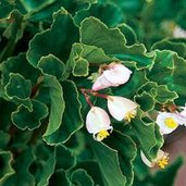 Begonia 'Barbara Rogers'