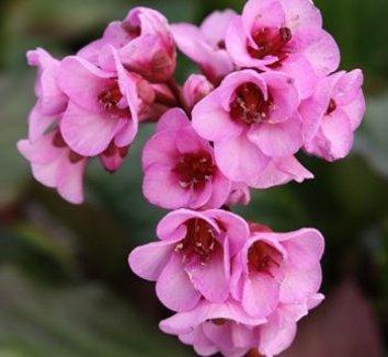 Bergenia 'Herbstblute' 1 flower