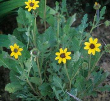 Berlandiera lyrata 2 flower