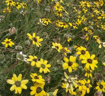 Berlandiera lyrata 4 flower