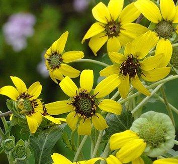 Berlandiera lyrata 6 flower