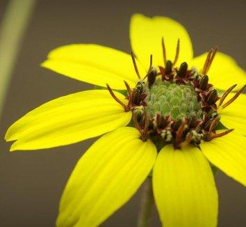 Berlandiera lyrata 1 flower