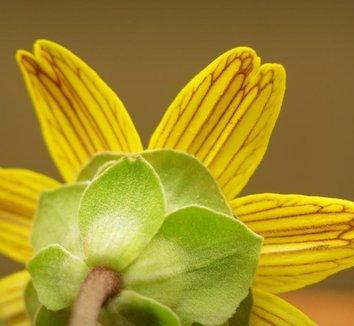 Berlandiera lyrata 10 flower