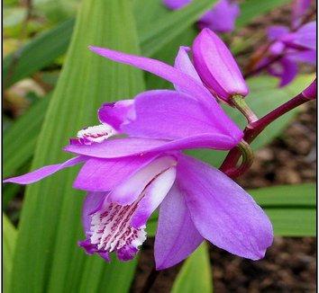 Bletilla striata 4 flower