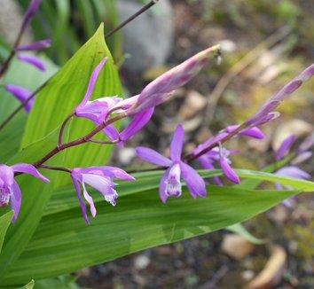 Bletilla striata 6 flower