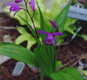 Bletilla striata 7 flower