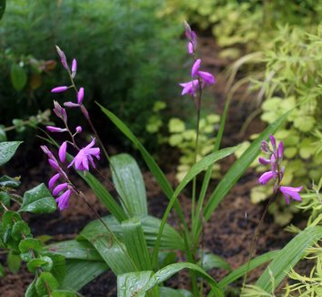 Bletilla striata 16 flower