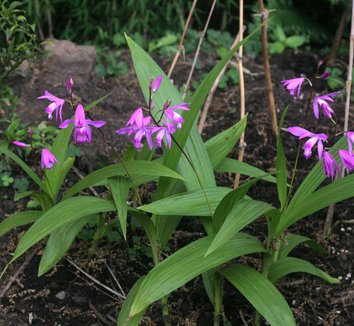 Bletilla striata 18 flower