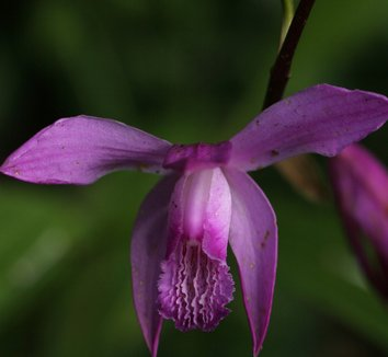 Bletilla striata 10 flower