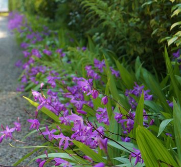 Bletilla striata 21 flower