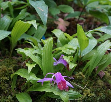 Bletilla striata 23 flower