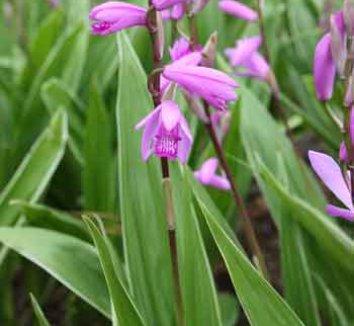 Bletilla striata 'Albostriata' 1 flower