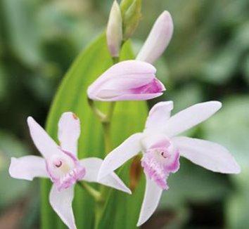 Bletilla striata 'Kuchibeni' 9 flower