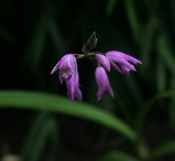 Bletilla 'Yokohama' 5 flower