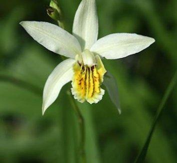 Bletilla ochracea 'Chinese Butterfly' 2 flower