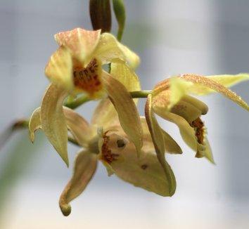 Bletilla ochracea 'Chinese Butterfly' 1 flower