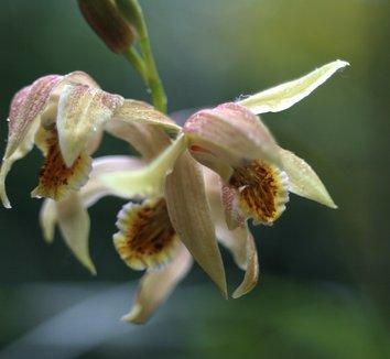 Bletilla ochracea 'Chinese Butterfly' 8 flower
