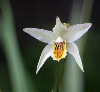 Bletilla ochracea 'Chinese Butterfly' 12 flower