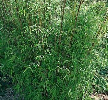 Borinda angustissima 1