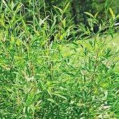 Yushania boliana