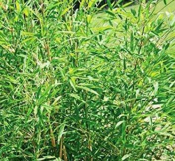 Yushania boliana 1