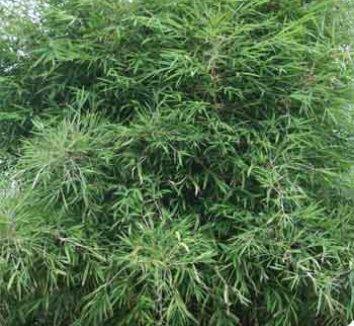Yushania boliana 5