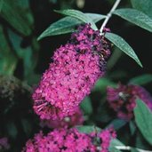 Buddleia 'Attraction'