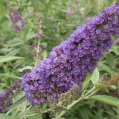 Buddleia 'Ellen's Blue'