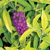 Buddleia 'Evil Ways'