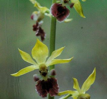 Calanthe tricarinata 1 flower