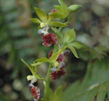Calanthe tricarinata 9 flower