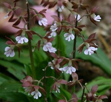 Calanthe discolor 7 flower