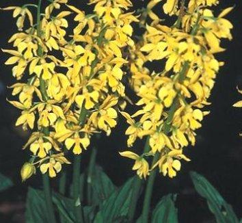 Calanthe sieboldii 1 flower