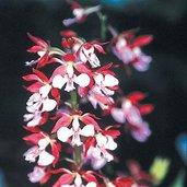 Calanthe Kozu Spice Hybrids