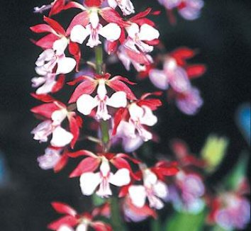 Calanthe Kozu Spice Hybrids 1 flower