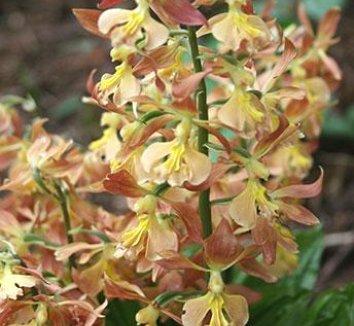 Calanthe Takane Hybrids 1 flower