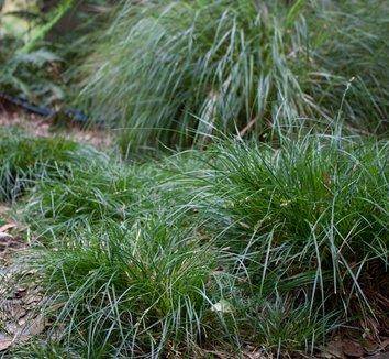 Carex divulsa 8