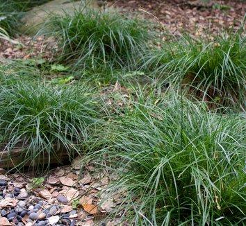 Carex divulsa 6