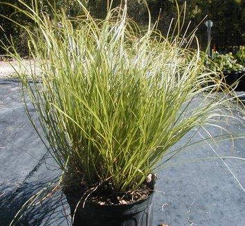 Carex divulsa 12