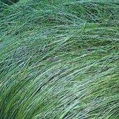 Carex appalachica